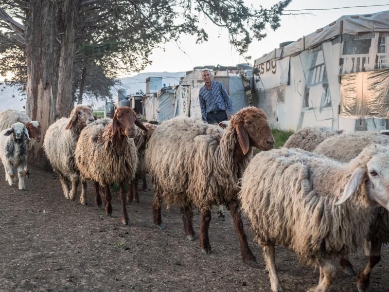 20- El valle del Bekaa es una zona fértil. Algunos de los refugiados consiguen encontrar trabajo en el sector agrícola o ganadero.