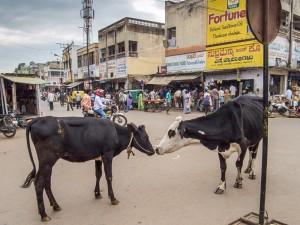 2-MireiaPuntí-vacas
